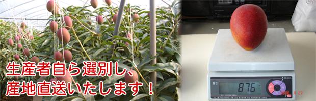 祝迫果樹園のマンゴー