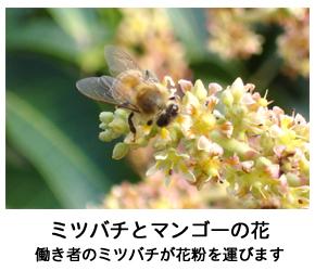 ミツバチとマンゴーの花写真