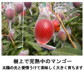樹上完熟中のマンゴー写真