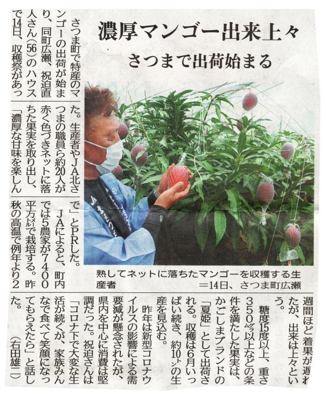 南日本新聞「濃厚マンゴー出来上場 さつまで出荷始まる」取材受けさせていただきました。