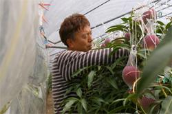 朝一番の収穫作業